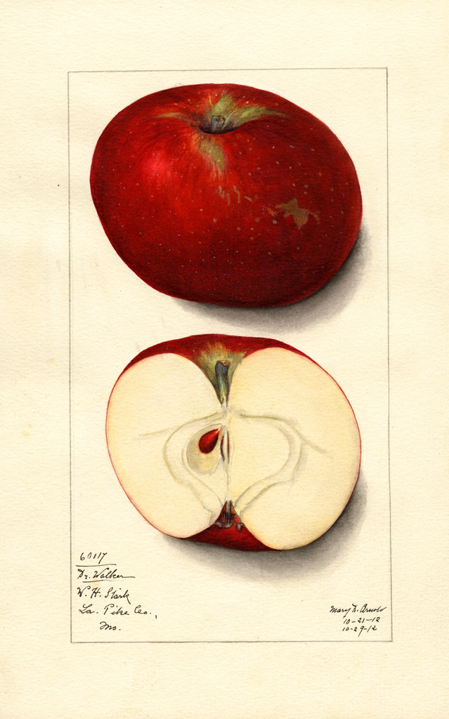 Apples, Doctor Walker (1912)