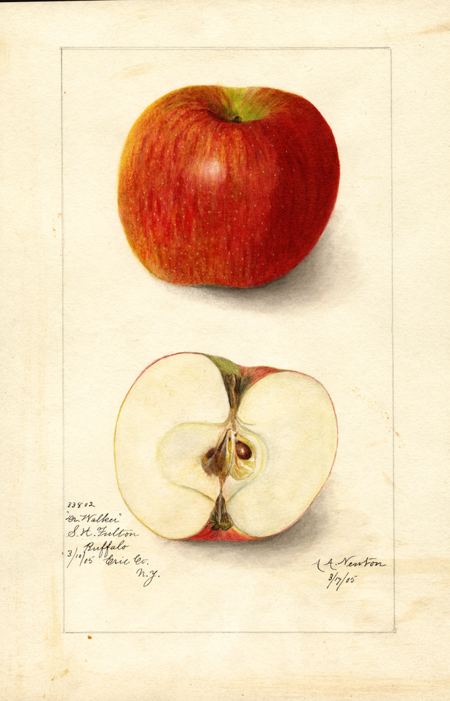 Apples, Doctor Walker (1905)