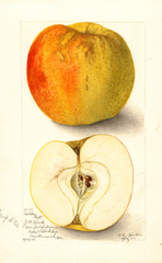 Apples, Golden Ball (1905)