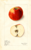 Apples, Draper Best (1911)
