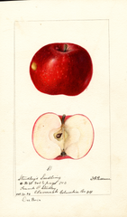 Apples, Studleys Seedling (1894)