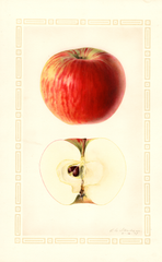 Apples, Dudley (1927)