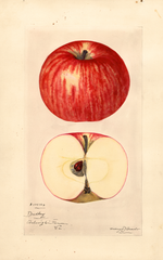 Apples, Dudley (1924)