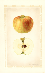 Apples, Dudley (1925)