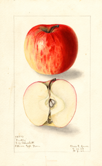 Apples, Dudley (1909)