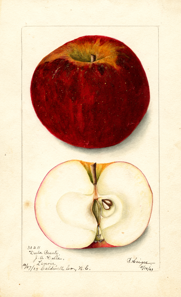 Apples, Dula Beauty (1903)
