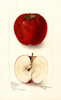 Apples, Dula Beauty (1899)