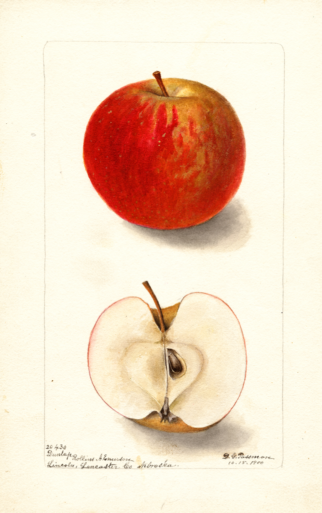 Apples, Dunlap (1900)
