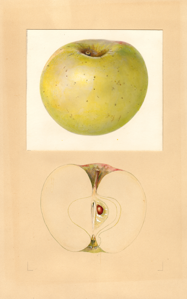 Apples, Earlham (1938)