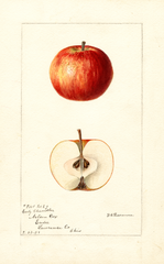 Apples, Early Chandler (1894)