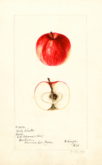 Apples, Early Cluster (1898)