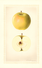 Apples, Early Cooper (1926)