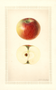 Apples, Early Edward (1928)