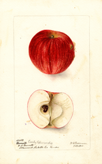 Apples, Early Edward (1900)
