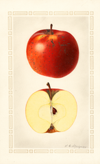 Apples, Indiana Favorite (1925)