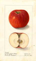 Apples, Indiana Favorite (1904)