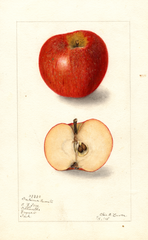 Apples, Indiana Favorite (1905)