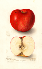 Apples, Indiana Favorite (1907)