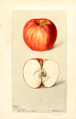 Apples, Ingram (1898)