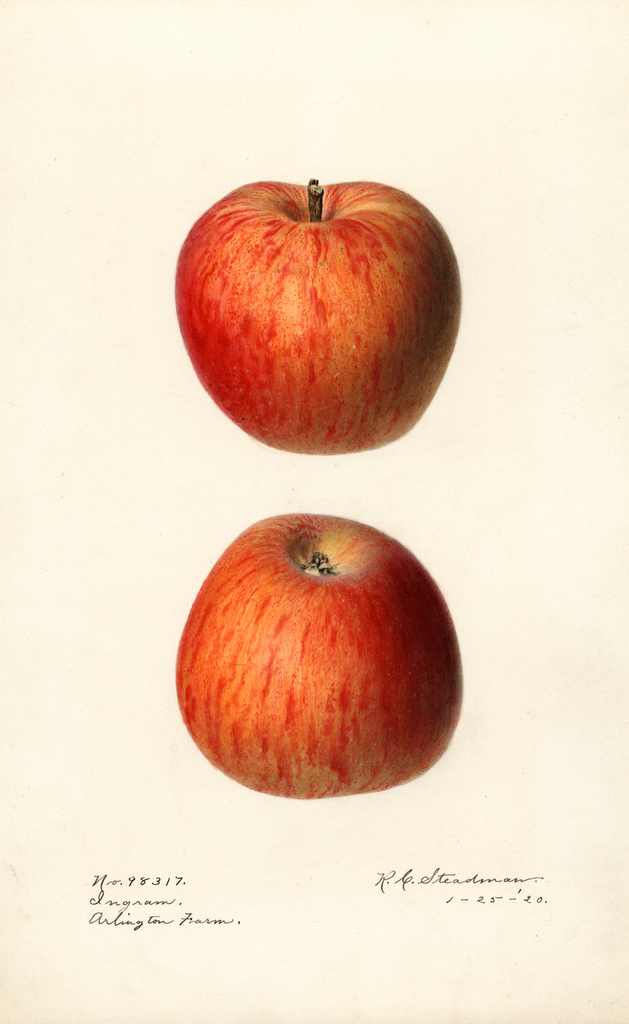 Apples, Ingram (1920)