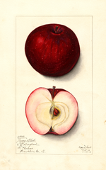 Apples, Jersey Black (1912)