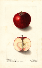 Apples, Jersey Black (1904)