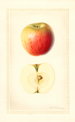 Apples, Jersey Sweet (1927)