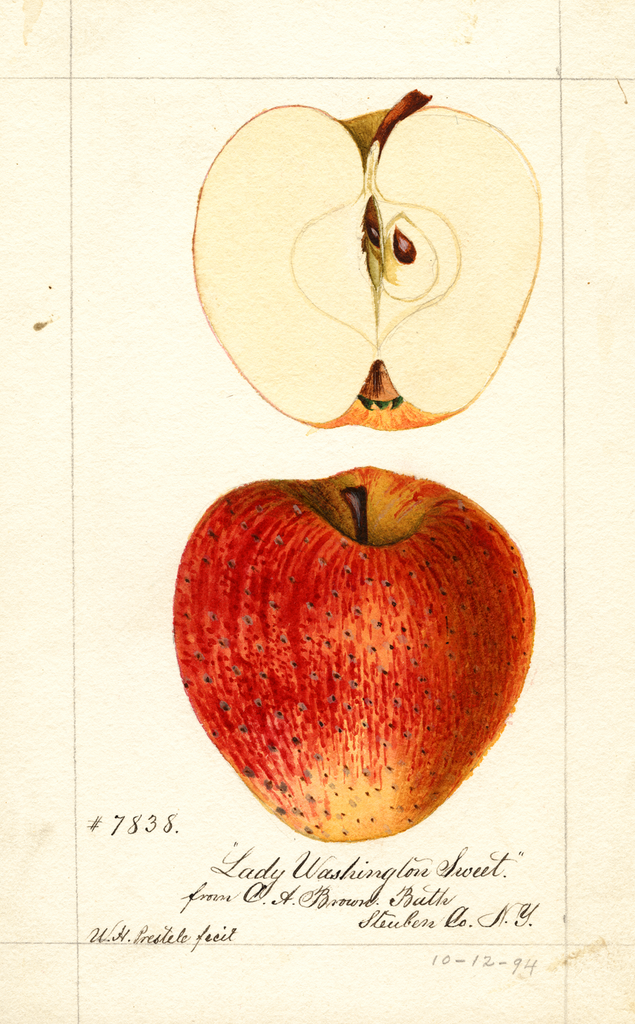 Apples, Lady Washington Sweet (1894)