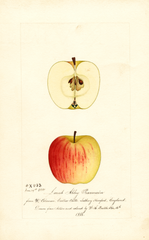 Apples, Lamb Abbey Pearmain (1888)