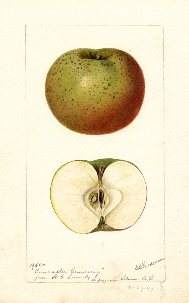 Apples, Lancaster Greening (1897)