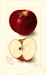 Apples, Thunderbolt (1910)