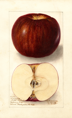Apples, Thunderbolt (1907)