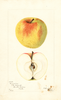 Apples, Hungarian (1902)