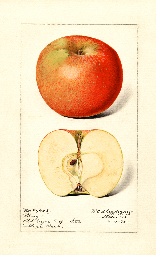 Apples, Major (1915)