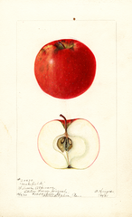 Apples, Makefield (1901)