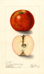 Apples, Mammoth Limbertwig (1905)