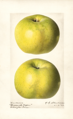 Apples, Mammoth Pippin (1920)