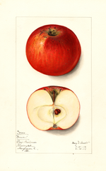 Apples, Manor (1912)