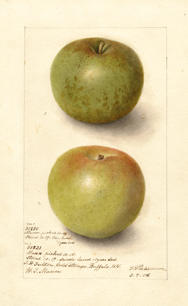 Apples, Mann (1906)