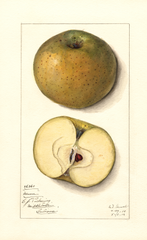 Apples, Mann (1912)