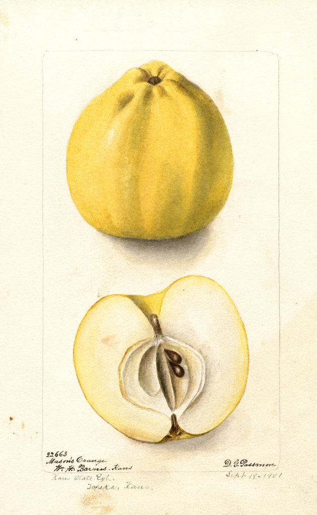 Apples, Masons Orange (1901)