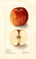 Apples, Matlack (1906)