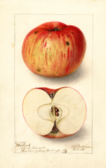 Apples, Matlack (1905)