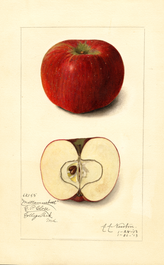 Apples, Mattamuskeet (1913)