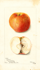Apples, Ingram (1902)