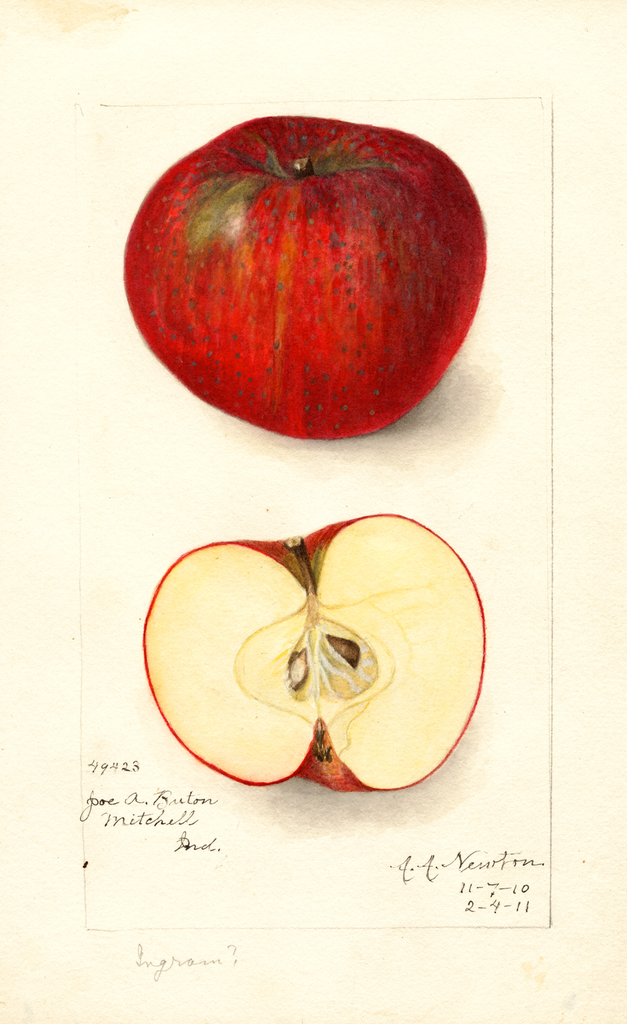 Apples, Ingram (1911)