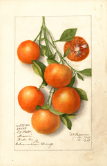 Citrus Fruits, Calamondian (1919)