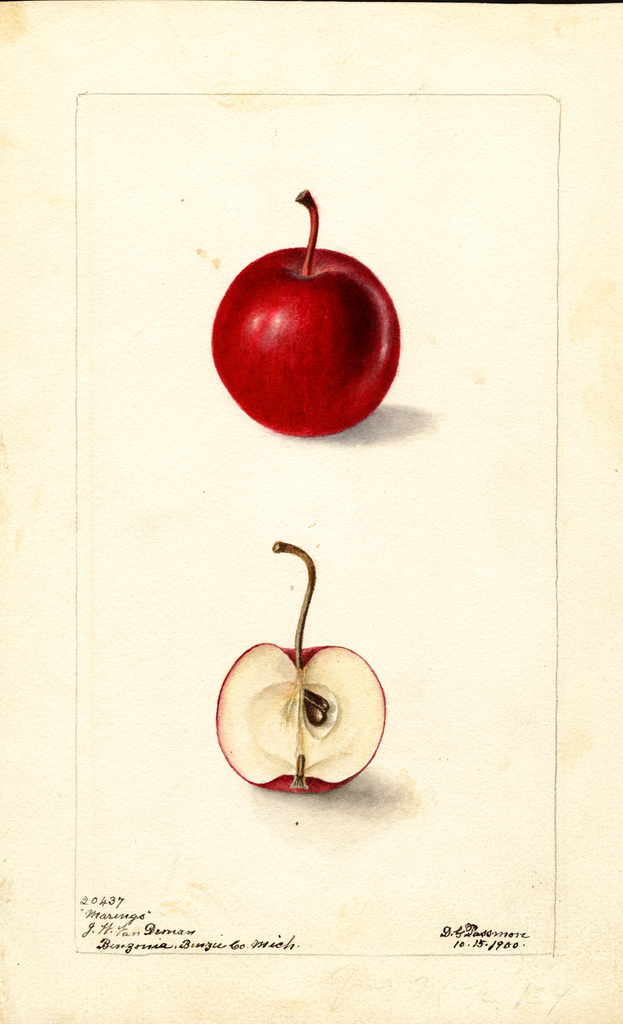 Apples, Marengo (1900)