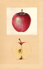 Apples, Close Seedling (1937)