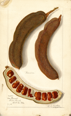 Indian Tamarind (1908)
